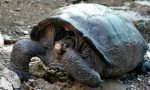 Giant Galapagos tortoise, considered extinct, found after 100 years